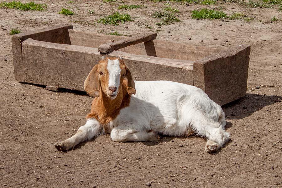 Бурский козленок