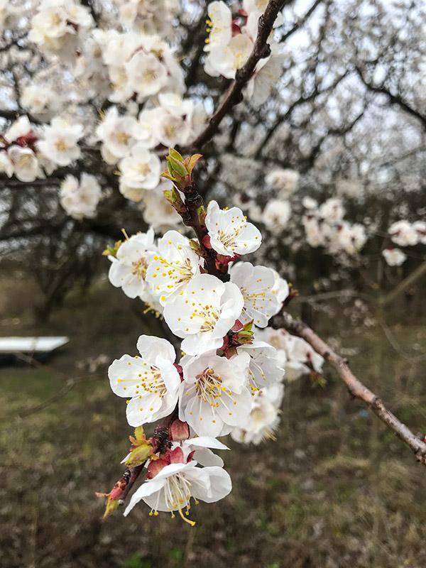 Прекрасные цветущие абрикосовые деревья
