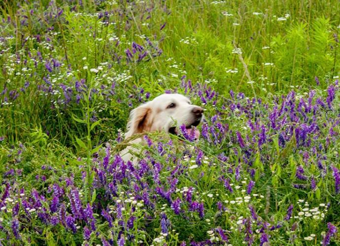 Золотистый рестривер в цветущем поле