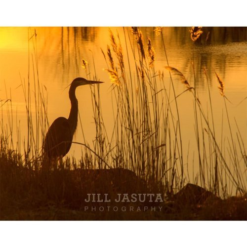 Heron Sunrise photo by Jill Jasuta