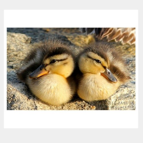 Baby Ducks Greeting Card by Secrets of the Eastern Shore