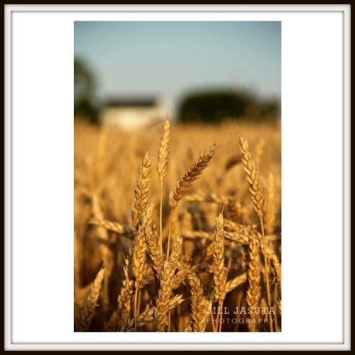 Eastern Shore Field of Wheat Photo Print