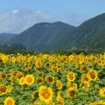 sayo_sunflower2015