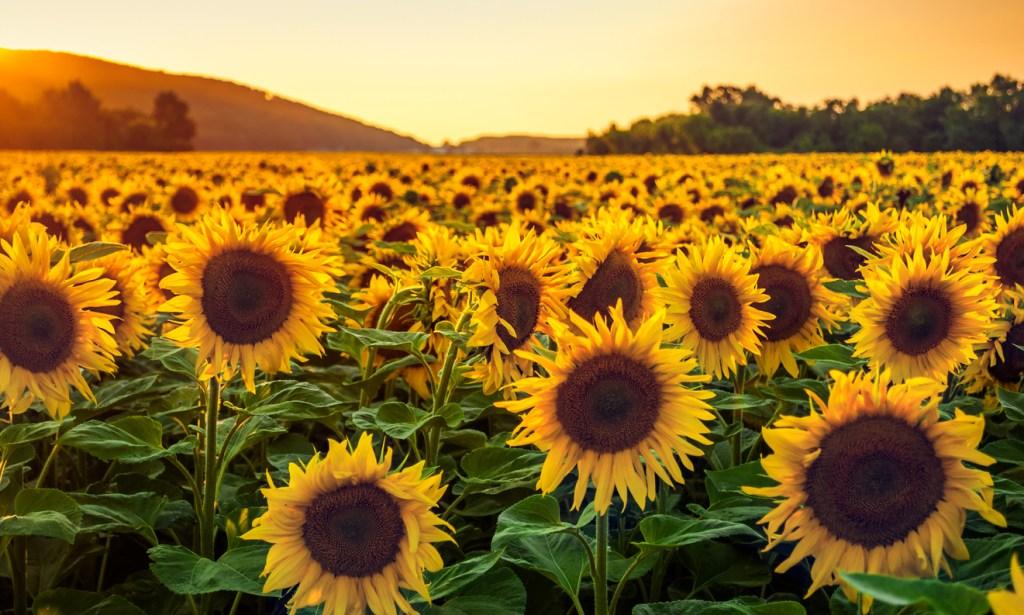 dunellon florida sunflowers. Enjoy Central Florida Like a Local .