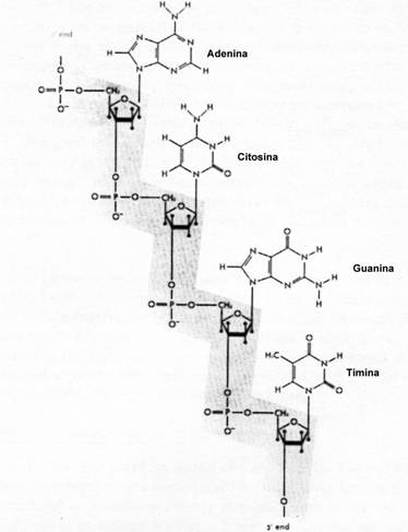 Fragmento de semihélice de ADN