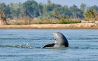 Watch Irrawaddy dolphins in Cambodia
