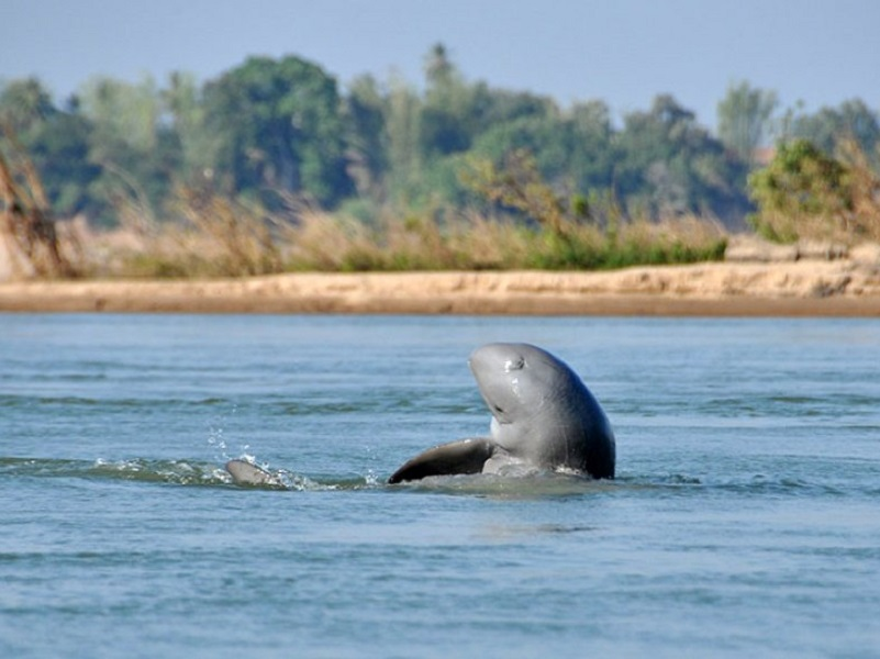 Irrawaddy Dolphin jumping in water