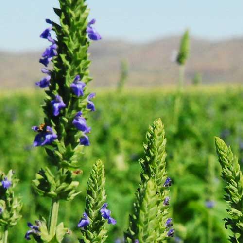 Organic Chia Seeds - Natural Seed Bank