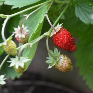 alpine strawberry seeds