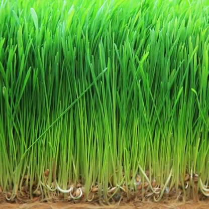 barley grass seeds