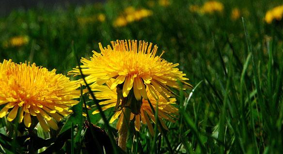 dandelion greens, dandelion leaves
