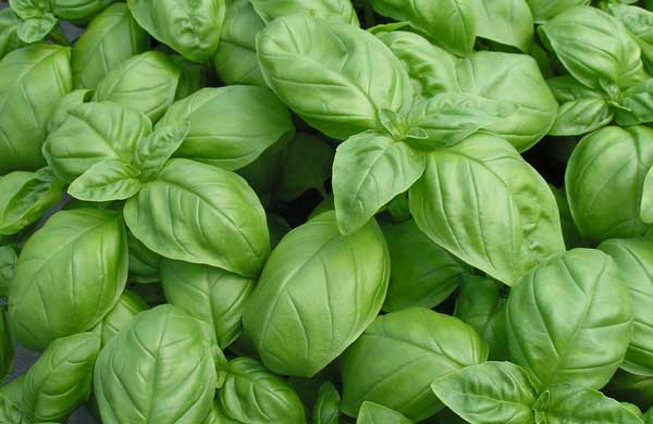 how to grow basil, growing basil from seed