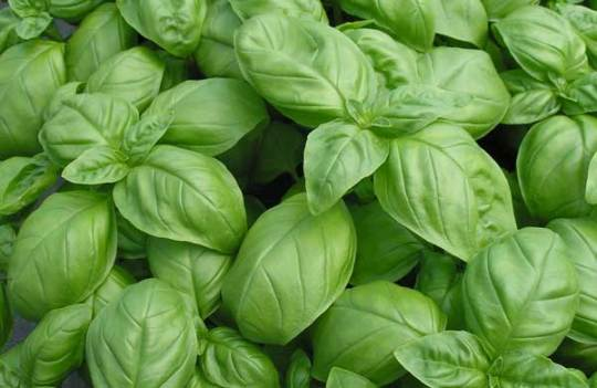 how to grow basil, growing basil