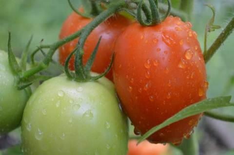 Roma-Tomatoes-2
