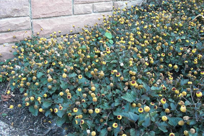 Spilanthes Acmella, Toothache Plant