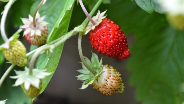 Alpine strawberry large