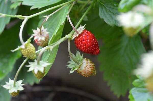 wild strawberry, wild strawberries