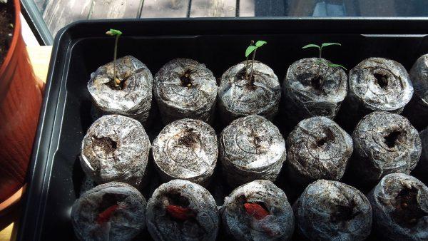 peat pellets, seedlings