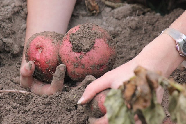 how to grow potatoes, growing potatoes, when to plant potatoes