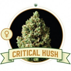 critical-kush-semi-femminizzati-city-seeds-bank