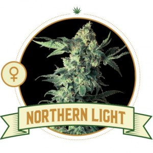 northern-light-feminized