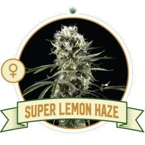 super-lemon-haze-feminized