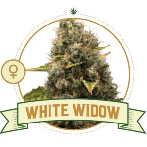 white-widow-feminized