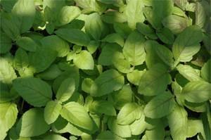 Ram Tulsi or Green Holy Basil seeds