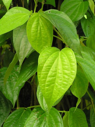 Piper Betel Plant Quot Paan Leaf Quot Seeds Of India Shop