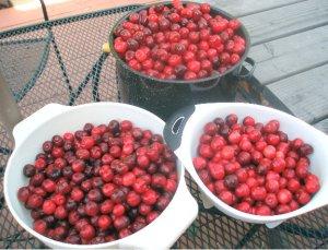 fresh sweet cherries