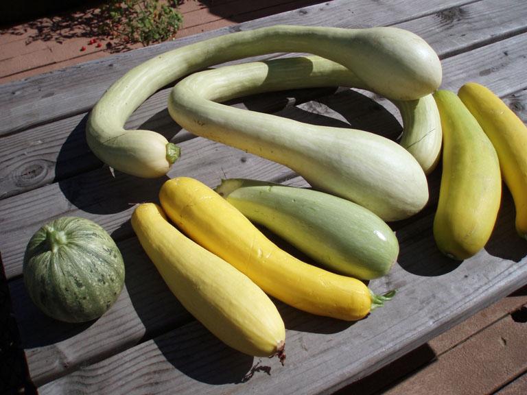 garden zucchini