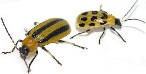 cuc_bugs
