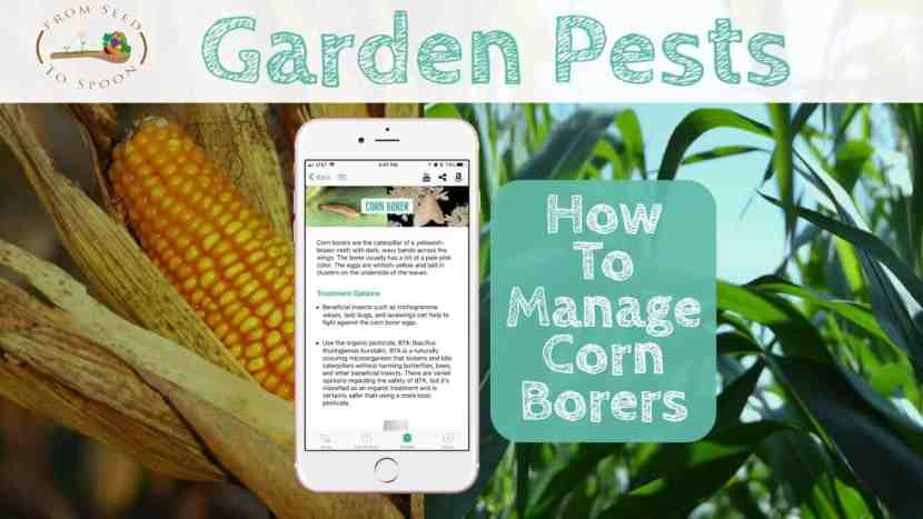 Corn Borers blog post