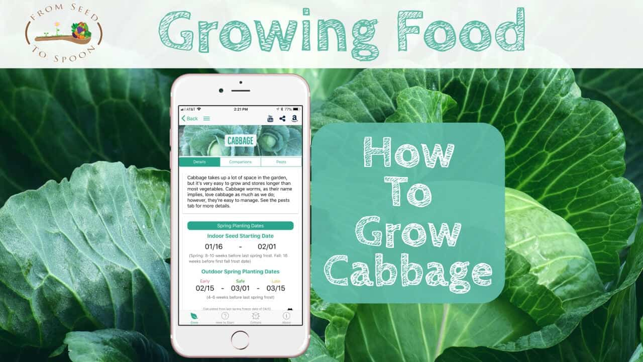 Planting cabbage - its easy