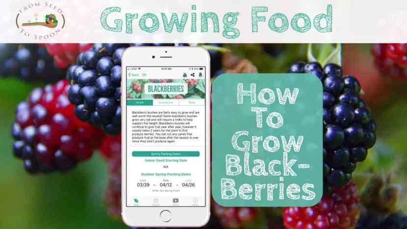 Blackberries blog post