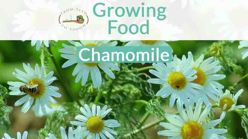 Chamomile blog post