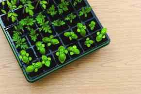 transplant seedlings