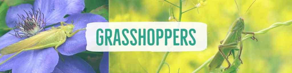 grasshoppers-header