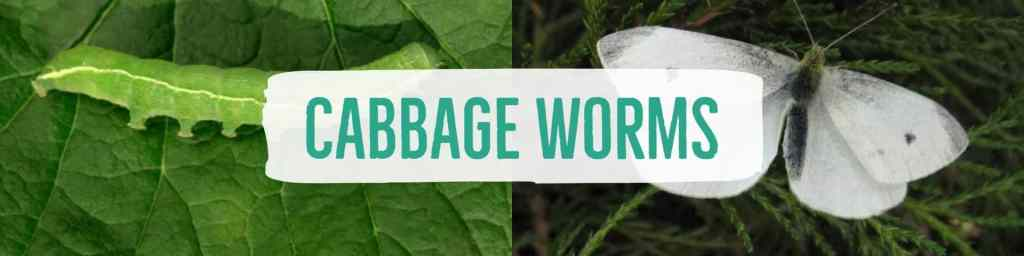 cabbageworms-header