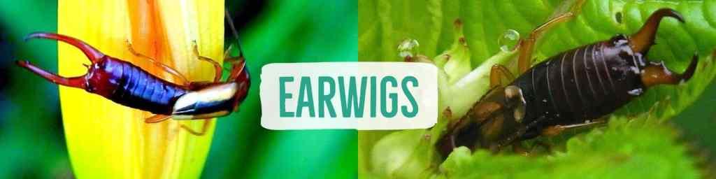 earwig-header
