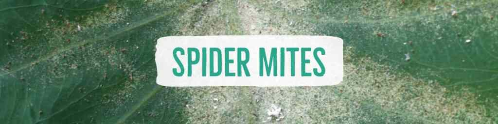 spidermites-header