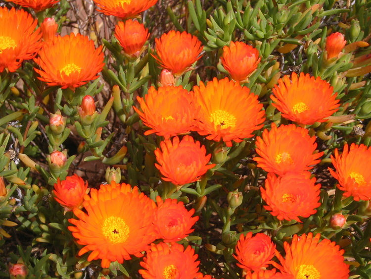 seen objects   a photoblog   Orange Succulent Bright orange flowers