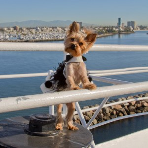 Commercial photography services : Chloe the silky terrier, vacationing on the Queen Mary