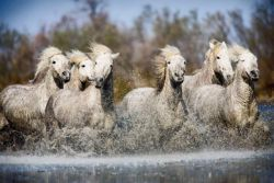 white-camargue-horses-of-southern-france-600x400-7c23ed2d