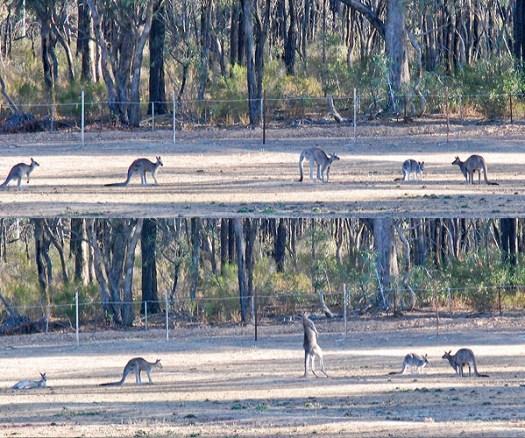 kanguru1