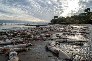 Strage di calamari giganti sulla costa californiana