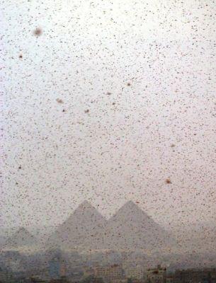 Massiccia invasione di cavallette in Egitto