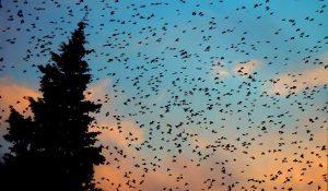 Milioni di uccelli invadono Hopkinsville nel Kentucky