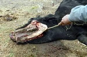Mucca uccisa misteriosamente, strane orme nel fango ne infittisce il mistero