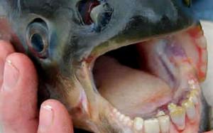 "Pesce ""mangia-testicoli"", avviso ai bagnanti: Tenete su i costumi"